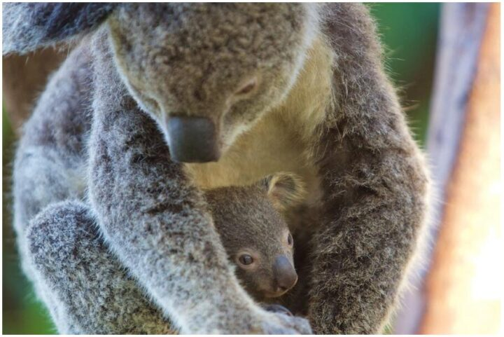Koala en kind - Koala and her young, Whitsunday Islands